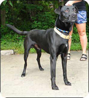 Labrador Retriever Mix Dog for adoption in Brattleboro, Vermont - Diesel