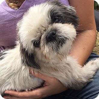Shih Tzu Mix Dog for adoption in Los Angeles, California - RUPERT