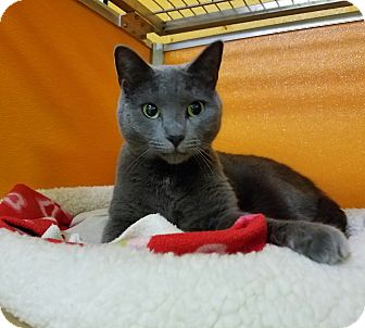 Russian Blue Cat for adoption in Elyria, Ohio - Lulu