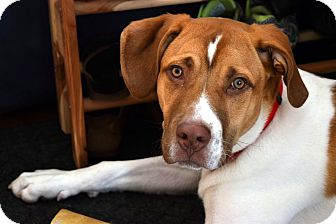 St. Bernard Mix Dog for adoption in Seattle, Washington - Cooper