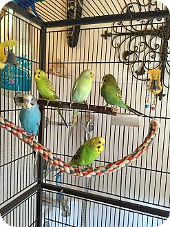 Budgie for adoption in Glens Falls, New York - Sunny, Salty, Baby, Sunshine a