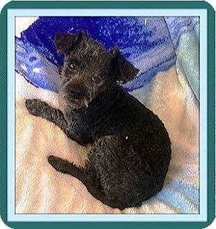 Poodle (Toy or Tea Cup) Dog for adoption in Las Vegas, Nevada - Reno