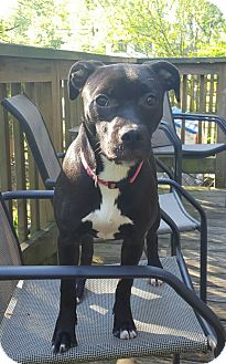 American Staffordshire Terrier Mix Puppy for adoption in Old Bridge, New Jersey - Destiny