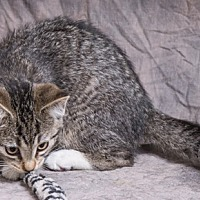 Adopt A Pet :: SAHARA - Anna, IL
