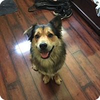 Shepherd (Unknown Type)/Chow Chow Mix Dog for adoption in Memphis, Tennessee - Buddha