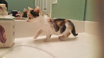 Calico Kitten for adoption in Smyrna, Georgia - Madison