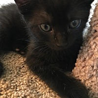 Adopt A Pet :: Sirius - Turnersville, NJ