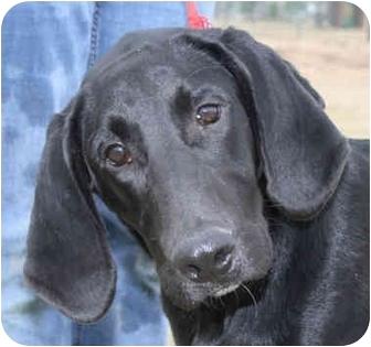 Labrador Retriever/Hound (Unknown Type) Mix Dog for adoption in kennebunkport, Maine - Bart- ADOPTED!