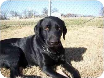 Labrador Retriever Mix Dog for adoption in Stockton, Missouri - Ellie