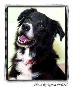Border Collie Mix Dog for adoption in Warren, Pennsylvania - Lincoln