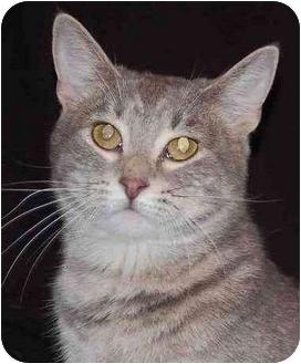 Domestic Shorthair Cat for adoption in Mora, Minnesota - Silver