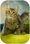 Domestic Mediumhair Cat for adoption in Anchorage, Alaska - BT