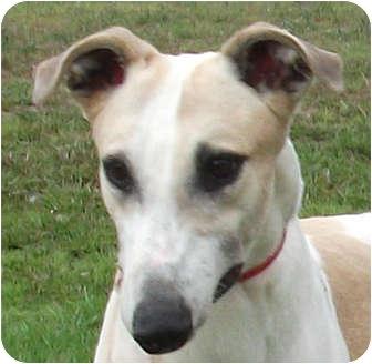 Greyhound Dog for adoption in Tampa, Florida - Little Man
