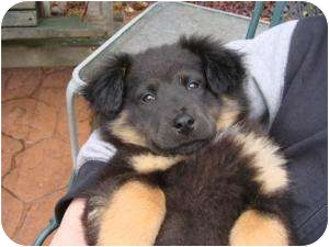 Great Pyrenees/Bernese Mountain Dog Mix Puppy for adoption in Marlton, New Jersey - Spencer, Nigel and Buster