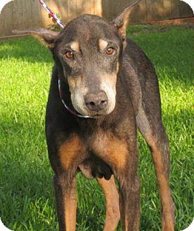 Doberman Pinscher Dog for adoption in killeen, Texas - MAX-B