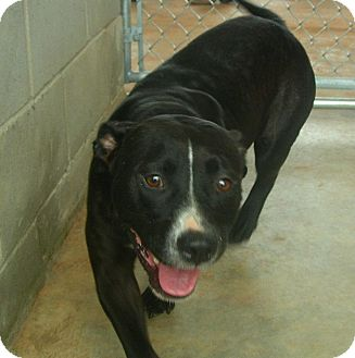 American Bulldog Mix Dog for adoption in dawson, Georgia - Elvira