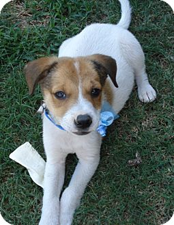 Jack Russell Terrier/Sheltie, Shetland Sheepdog Mix Puppy for adoption in Irvine, California - ROCKY