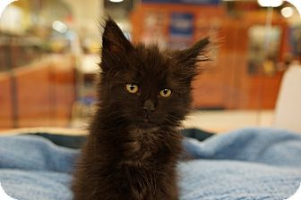 Domestic Mediumhair Kitten for adoption in Houston, Texas - Willow (a sweetie!)