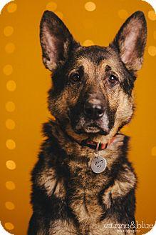 German Shepherd Dog Dog for adoption in Portland, Oregon - Cruiser