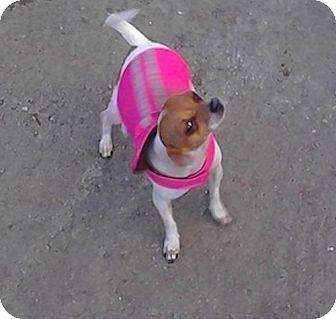 Chihuahua/Chihuahua Mix Dog for adoption in San Francisco, California - Pee Wee