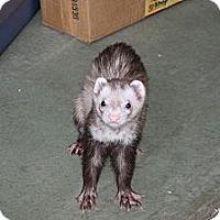 Adopt A Pet :: Lucius - Indianapolis, IN