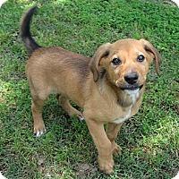 Adopt A Pet :: *Greg Brady - PENDING - Westport, CT
