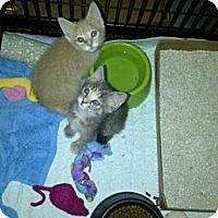 Adopt A Pet :: Sajen - Grand Rapids, MI