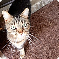 Adopt A Pet :: Tiger - Troy, OH