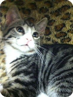 Domestic Shorthair Kitten for adoption in Trevose, Pennsylvania - Levitt