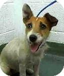 Jack Russell Terrier Dog for adoption in Boynton Beach, Florida - Pippi Longstocking
