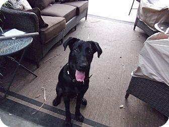 Labrador Retriever/Shepherd (Unknown Type) Mix Dog for adoption in Houston, Texas - Shy-Anne
