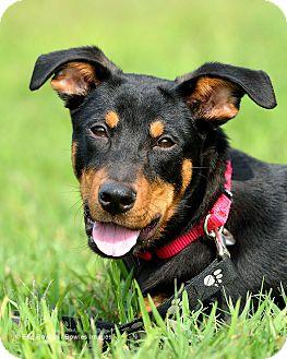 Doberman Pinscher Mix Puppy for adoption in Dacula, Georgia - Denver