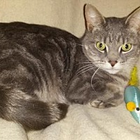 Domestic Shorthair Cat for adoption in Iroquois, Illinois - Charlie