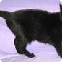 Adopt A Pet :: Raven - Powell, OH