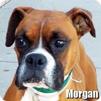 Boxer Dog for adoption in Encino, California - Morgan