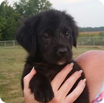 Australian Shepherd/Labrador Retriever Mix Puppy for adoption in Huntingburg, Indiana - Elsa