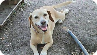 Beagle Dog for adoption in Jarrell, Texas - Honey