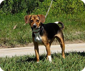Beagle Dog for adoption in Batavia, Ohio - Carmen