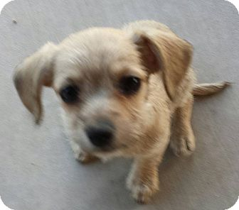 Terrier (Unknown Type, Small)/Chihuahua Mix Puppy for adoption in Hurricane, Utah - Hailey