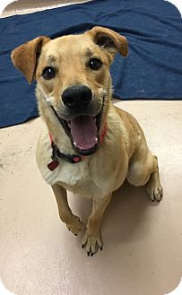 Labrador Retriever Mix Dog for adoption in Battle Creek, Michigan - Nunu