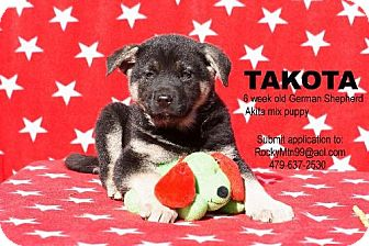 German Shepherd Dog/Akita Mix Puppy for adoption in Waldron, Arkansas - Takota Alexander