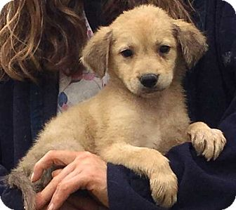 Golden Retriever/Shepherd (Unknown Type) Mix Puppy for adoption in SUSSEX, New Jersey - Karma (7 lb) Video!