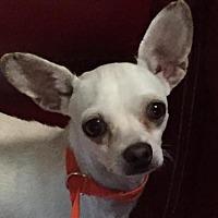 Chihuahua Mix Dog for adoption in Naples, Florida - Salman