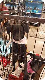 Labrador Retriever/Terrier (Unknown Type, Small) Mix Puppy for adoption in Mesa, Arizona - Riva