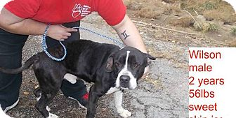 American Pit Bull Terrier/American Staffordshire Terrier Mix Dog for adoption in Chicago, Illinois - Wilson*ADOPTED!*
