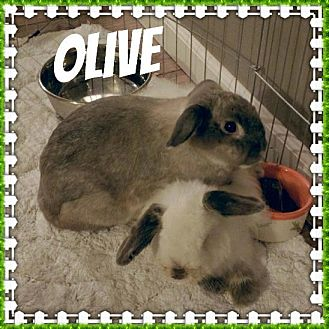 Chinchilla, American Mix for adoption in Los Angeles, California - Olive