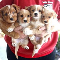 Adopt A Pet :: Julienne's Puppies - Males - San Diego, CA