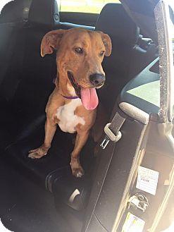 Basset Hound Mix Dog for adoption in Benton, Louisiana - Lil Bo