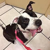 American Bulldog Mix Dog for adoption in Gilbert, Arizona - Lola