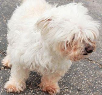 Maltese/Poodle (Miniature) Mix Dog for adoption in Amelia, Ohio - Mary Beth